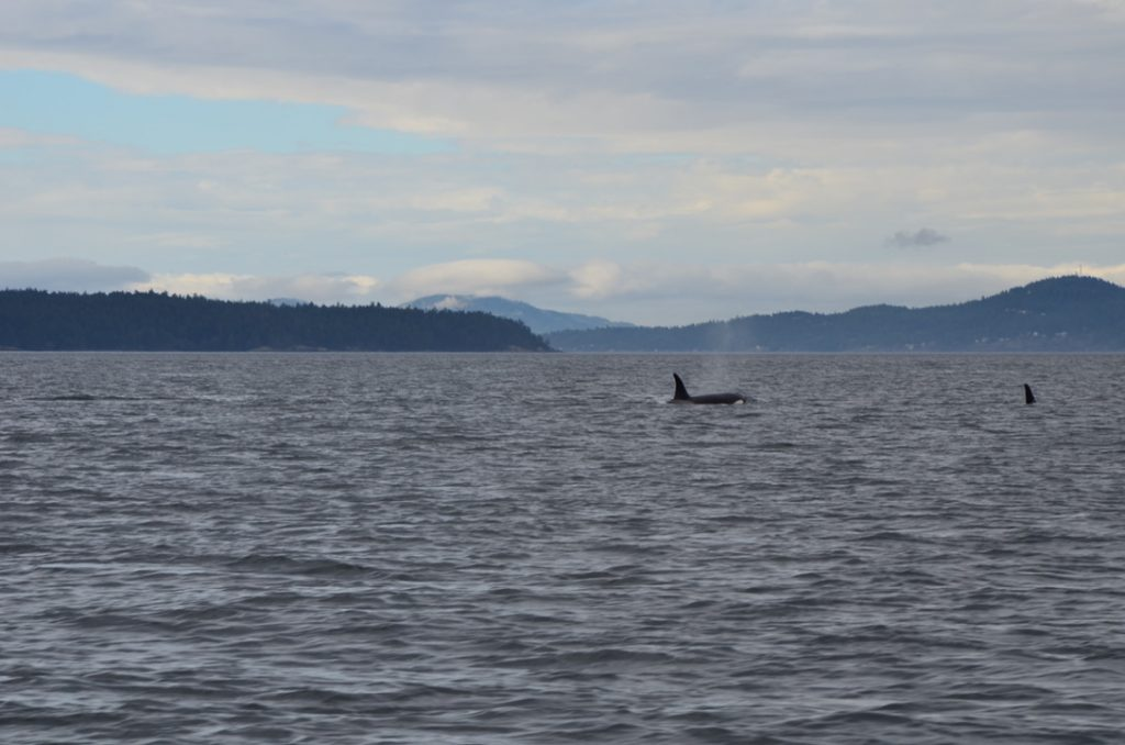 Vancouver_Island_Orcac